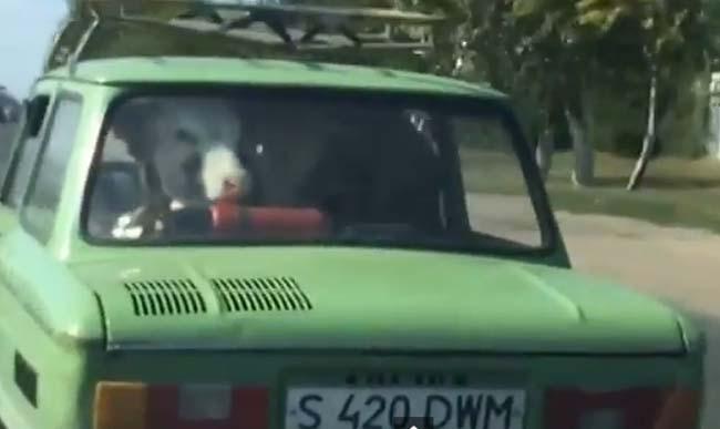 Obavezno pogledati: Krava na zadnjem sedištu automobila