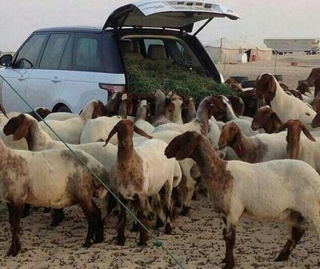Hrane ovce direktno iz Range Rovera